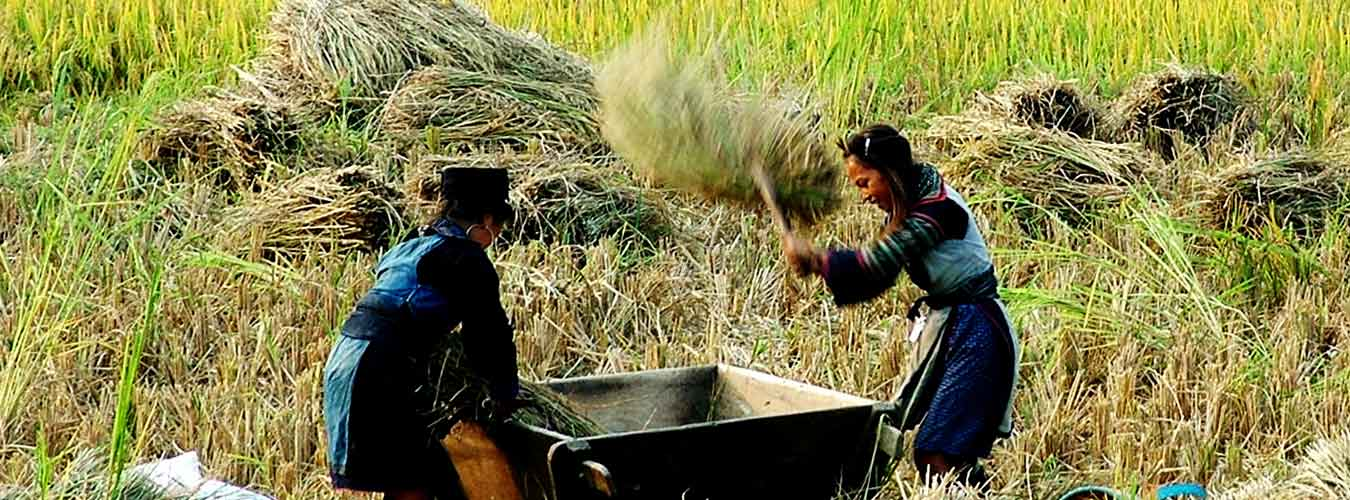 Rice harvest - Vietnam Tours - Vietnam Tour - Vietnam Travel Agency - Vietnam Travel Company